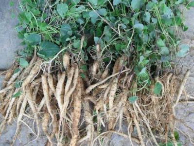 桔梗种植主要有哪些品种?