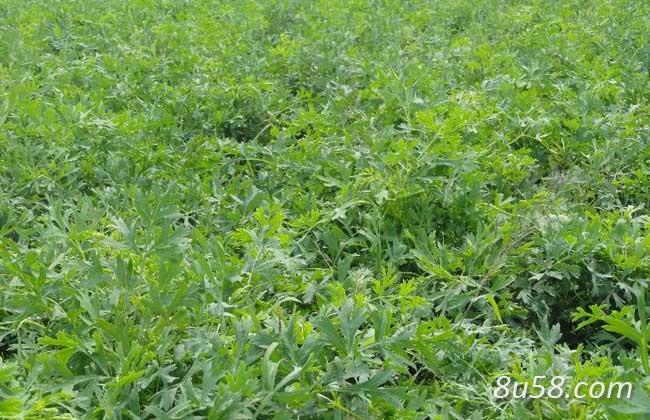 防风种植如何进行田间管理?