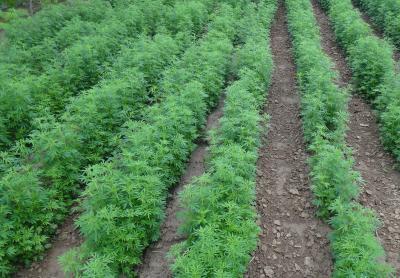 荆芥适宜在什么环境下种植?