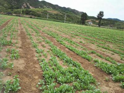 板蓝根适合在哪些地区种植?