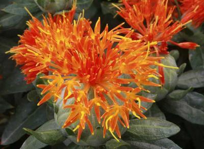 红花种子多少钱一斤?种植一亩红花需要多少斤种子?