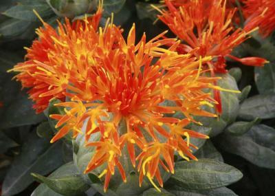 红花的种植密度多少最适宜?