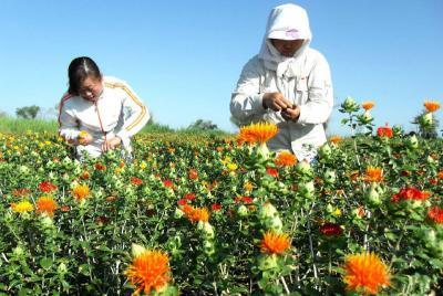 红花什么时候播种最好?