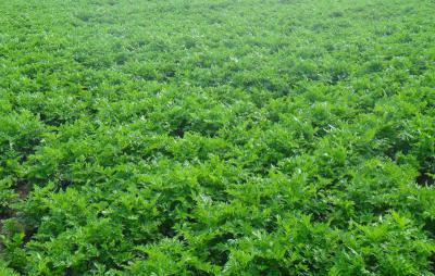 北沙参种子多少钱一斤?种植一亩北沙参需要多少斤种子?