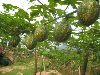 瓜蒌种子在播种前需要如何处理?