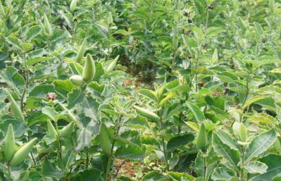 白薇种子的发芽率是多少?