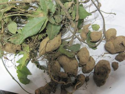 三叶青种苗多少钱一颗?种植一亩三叶青需要多少三叶青种苗?
