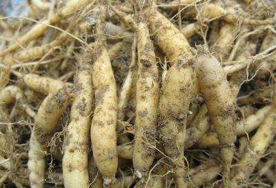 太子参最适宜的种植深度是多少?