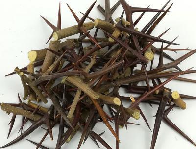 皂角刺苗多少钱一颗?种植一亩皂角刺需要多少皂角刺苗?