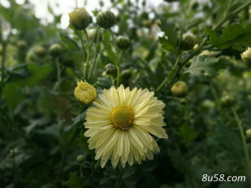 怎样控制菊花的花期?