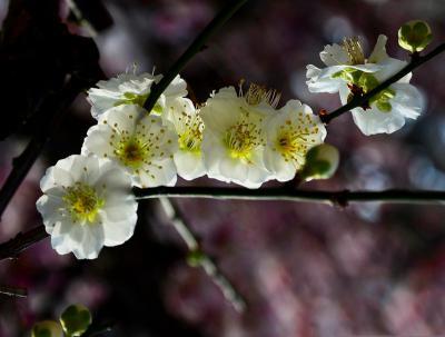 梅花怎么种植?梅花的种植技术