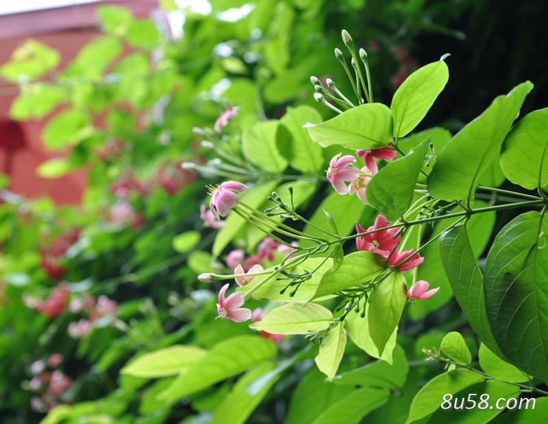 使君子种植几年能开花?