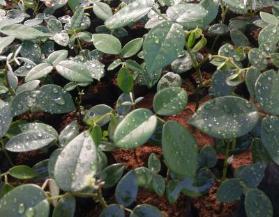山豆根什么时候移栽定植最好?