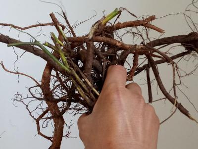 山豆根种子播种后几天能出苗?