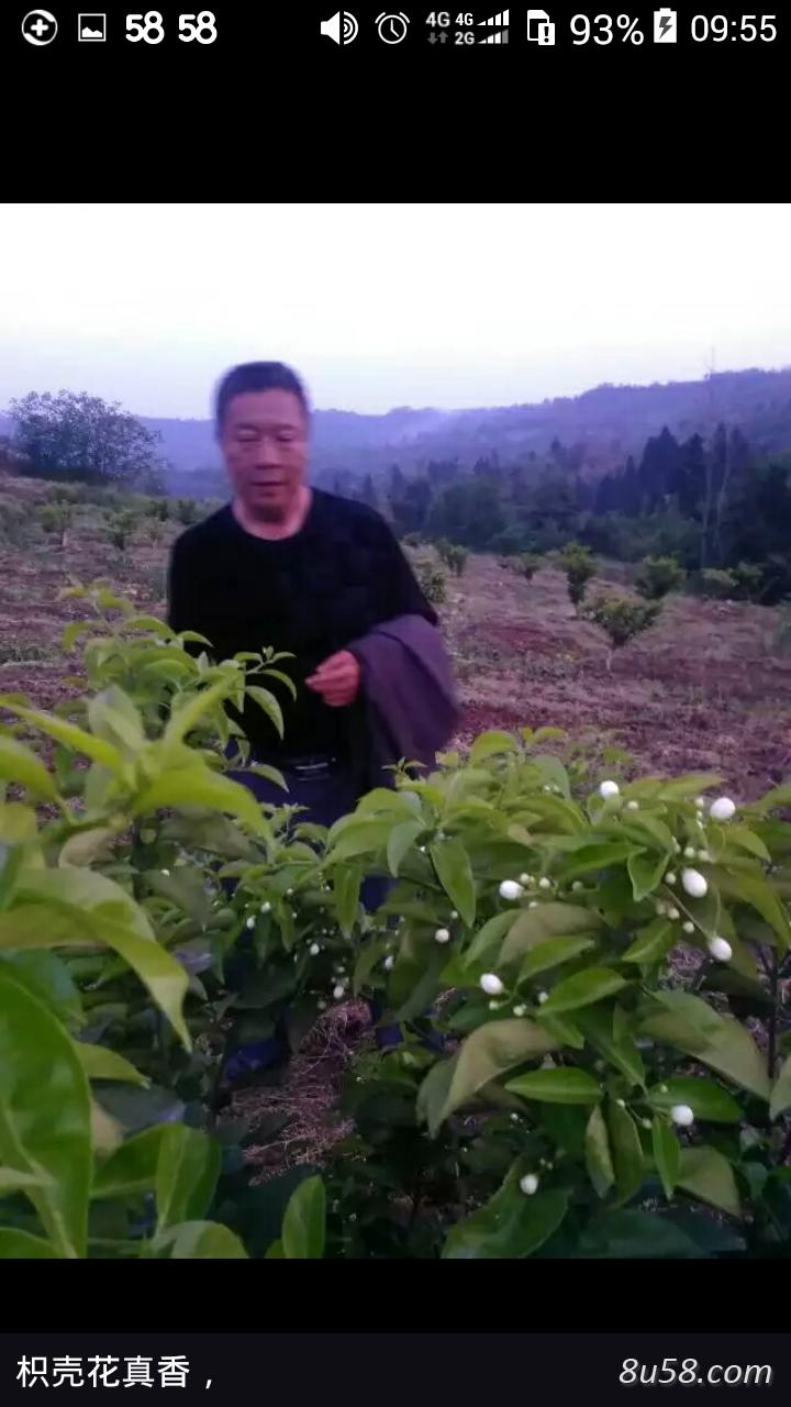 四川省广安市升旺枳壳种植