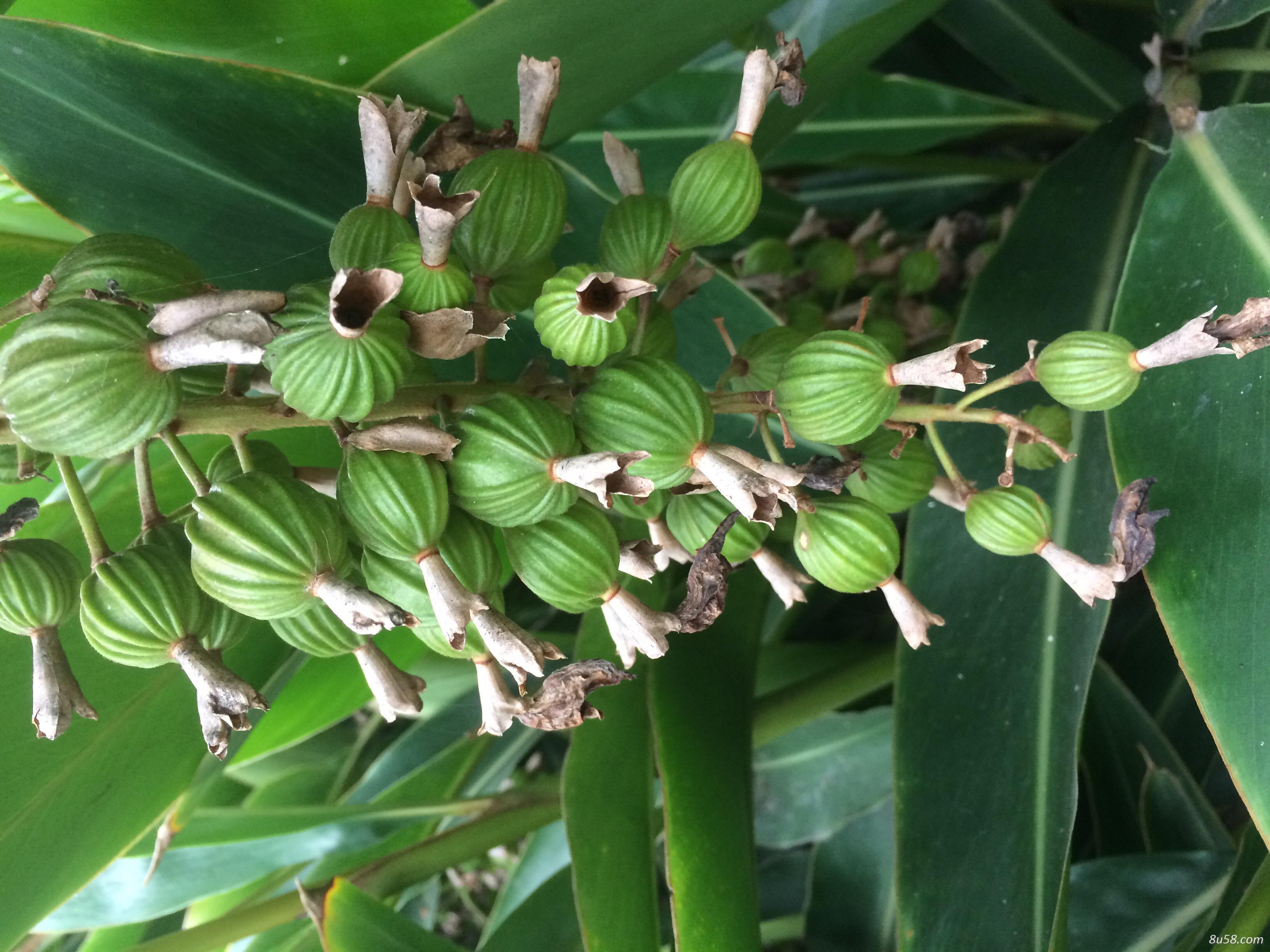 种植户供应绿壳砂仁