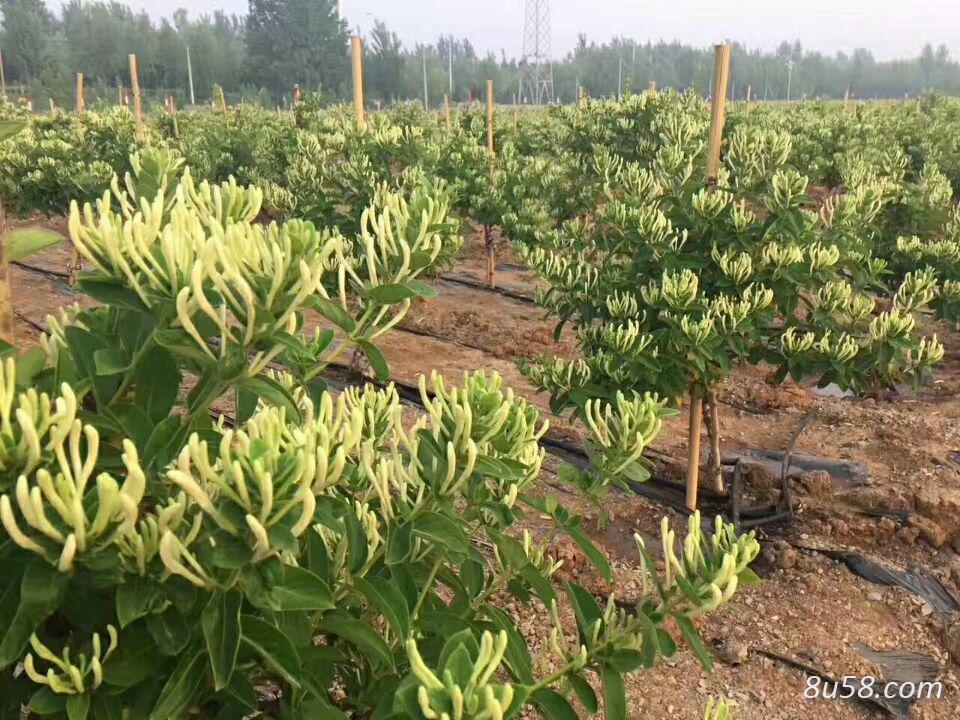 金银花种苗,新品种不开花苗,四季花苗一年苗二年苗