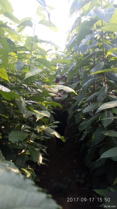 杜仲树苗价格多少钱一斤泰安供应杜仲树苗