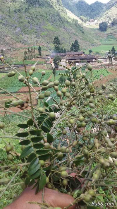 山豆根种子