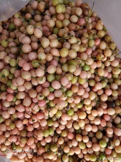 金果榄种子