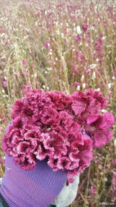 红鸡冠花,品种纯正,类似野生,无化肥农药