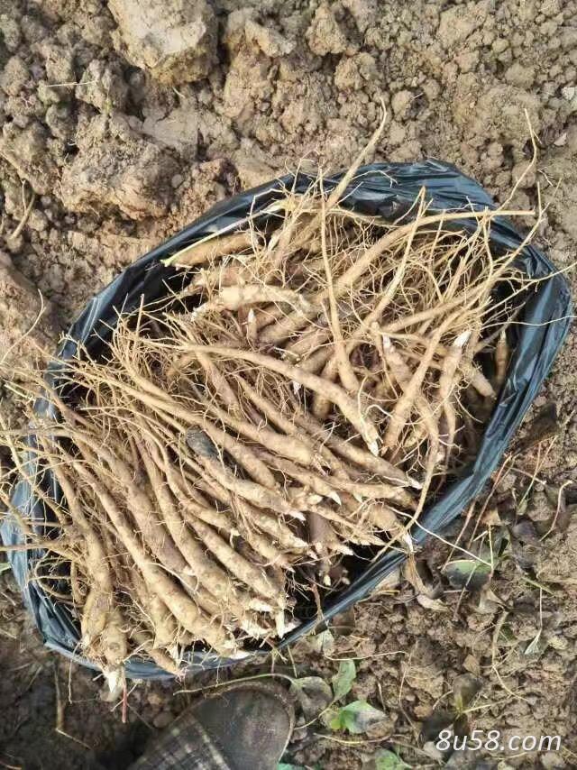 白芍种芽种苗供应