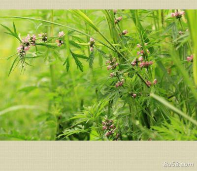 供应野生益母草