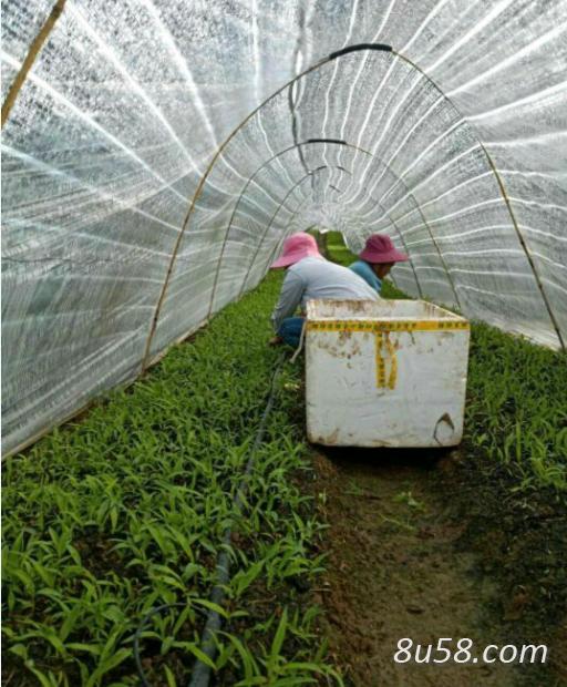 云南省保山市隆阳区紫花三叉大白芨驯化种苗7000万大量上市,质优价廉