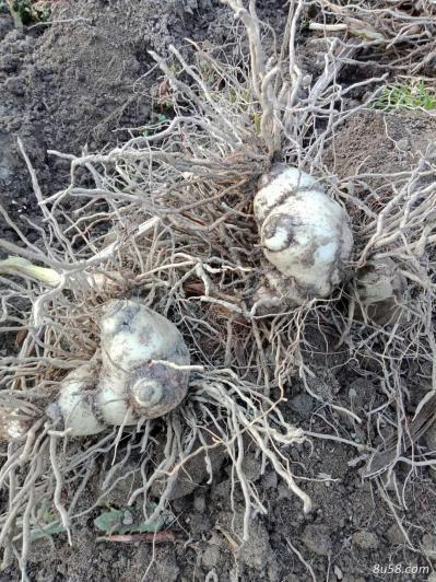 白芨 3年块茎