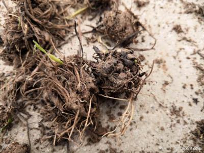 猫爪草根块4吨(如需技术支持,可提供种子技术指导)