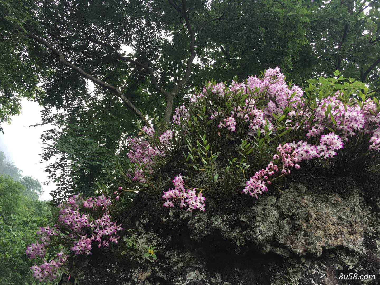 赤水野生金钗石斛