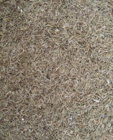 新采摘蒲公英籽种 纯净 发芽率高 冷储藏 干燥