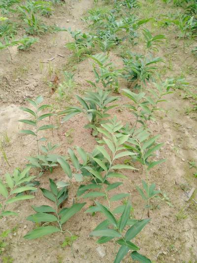 黄精茎块种苗种子大量货现挖现卖现场看货