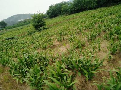 基地白及茎块种苗种子大量出售