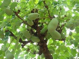 出售八月瓜树,一到十年生的。少量十到三十生的树