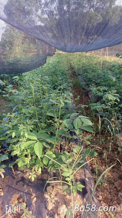 江西正宗原产地大量中花吴茱萸苗,插扦枝条出售,全程技术支持