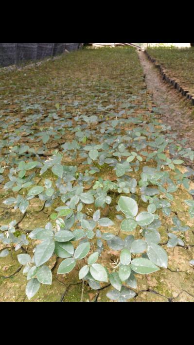 山豆根种苗