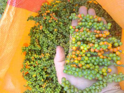 本人种植胡椒,有白胡椒,给胡椒,也有在树上的新鲜胡椒,货源充足