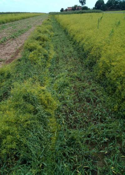 甘肃产地柴胡籽8月自家产新,颗粒饱满,保质保量,免费指导,量大价优