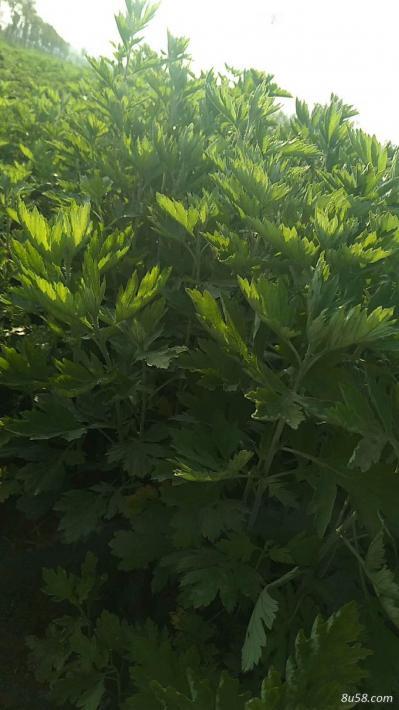优质艾根 提供种植技术,保证成活率