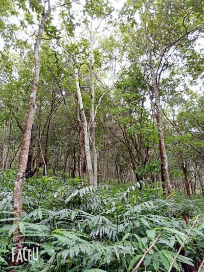 """阳春砂老品种1号""""满地红"""",投资少,产量高,种植简单,管理粗放,是林地种植药材不错的选择,种植一次,收益可达50多年,,欢迎实地考察订苗"""