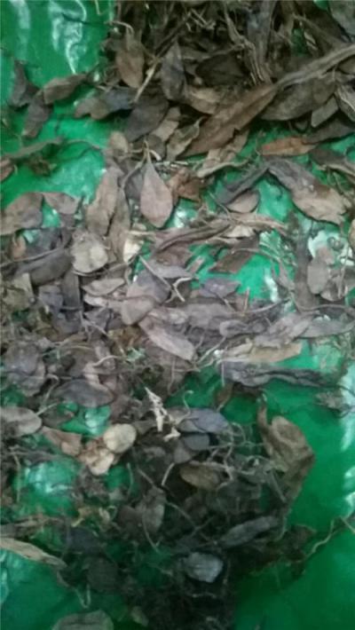 石蝉草到哪里买哪里能买到石蝉草产地价格