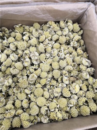 绿萝花产地价格批发零售绿萝花到哪里买