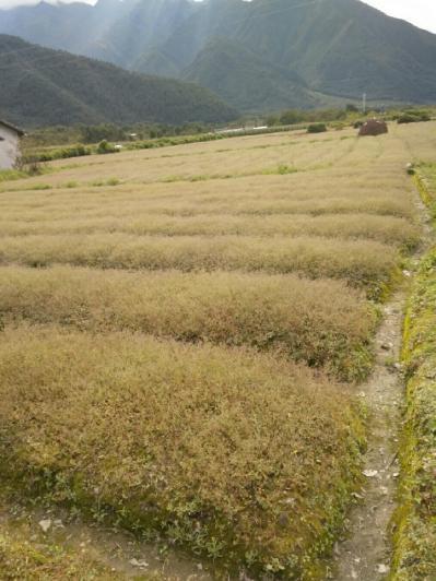 四川凉山彝族自治州,金铁锁种植户