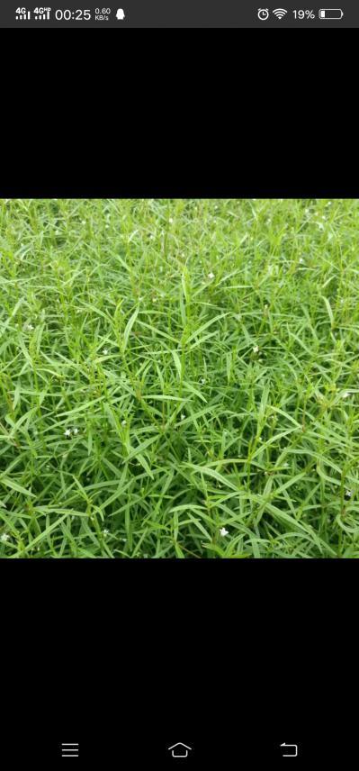 江西白花蛇舌草,小叶大花
