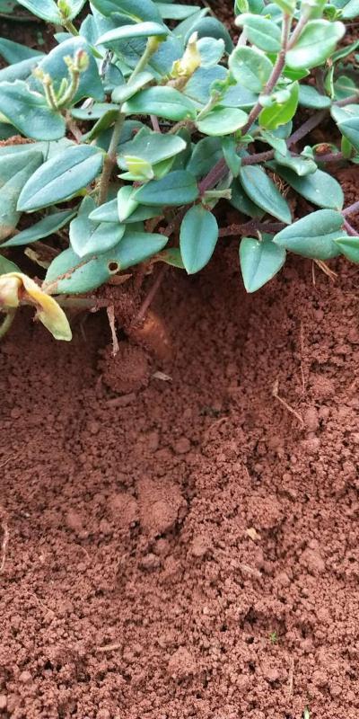 金铁锁种子,根茎出售。