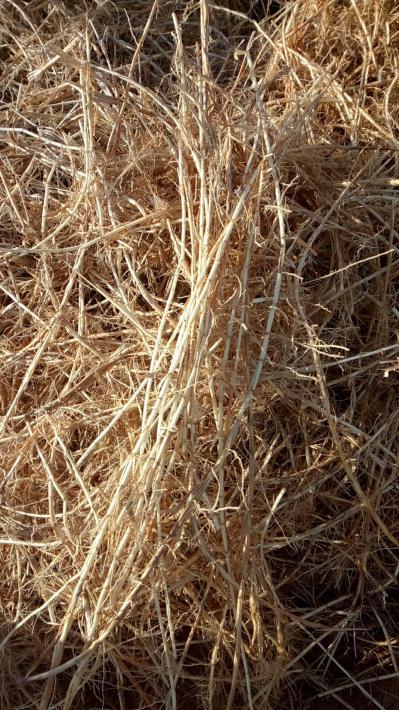 种植的白茅根
