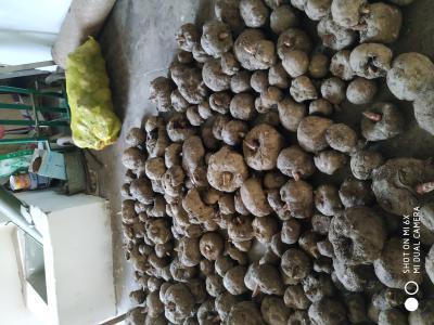 大量供应魔芋