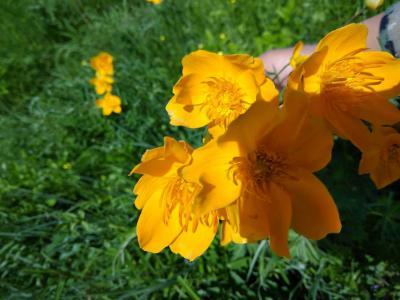 大兴安岭野生金莲花种子