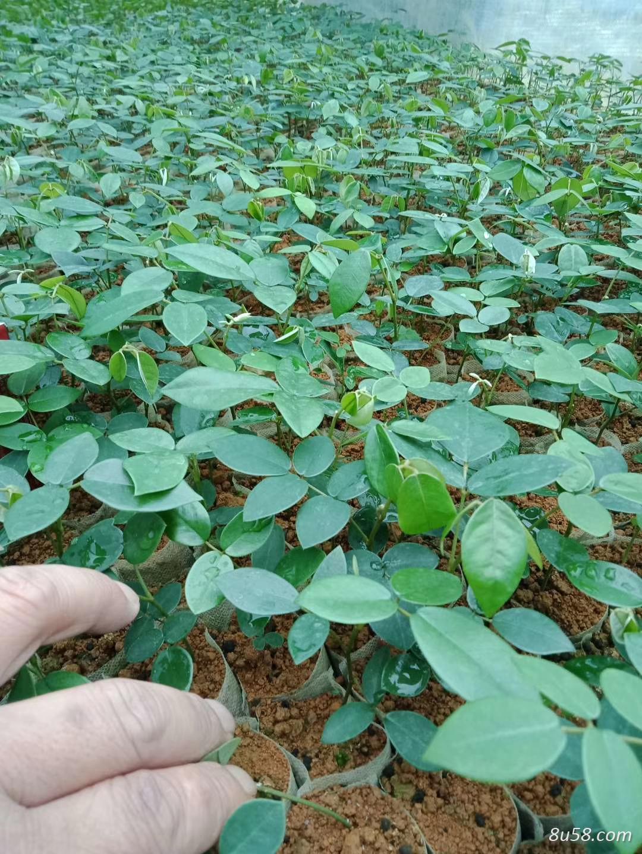 山豆根优质种苗